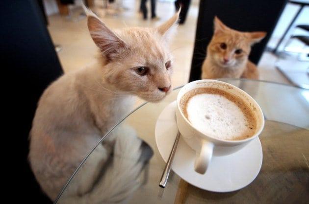 Cat café petface