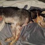 Stravično iživljavanje nad psom: Izbijeni mu zubi, šape čvrsto vezane žicom!