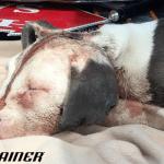 Štene Amari korišćena za borbe pasa, a sada ima sasvim novi život