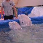 RUSIJA: Divni beluga kitovi ZAROBLJENI u putujućem cirkusu