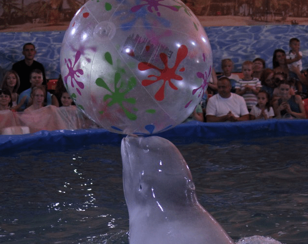 beluga petface