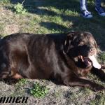 Porodica udomila gojaznog psa i pomogla mu da skine 27 kilograma