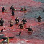 PRIZOR OD KOJEG ĆE VAM BITI MUKA: Ubijene životinje, more se zacrvenelo, gledala i deca! (VIDEO)