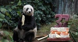 najstarija panda na svetu petface