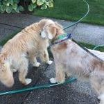 Prijateljstvo na prvi pogled: Zlatni retriver nije voleo druge pse, dok se nije pojavila ONA!