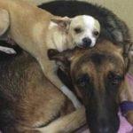 Pravo prijateljstvo: Malena čivava leži na leđima svog bolesnog prijatelja!