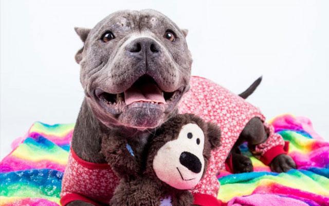 Mešanka pit bula Čank je najsrećnija kada je u svojoj pidžami