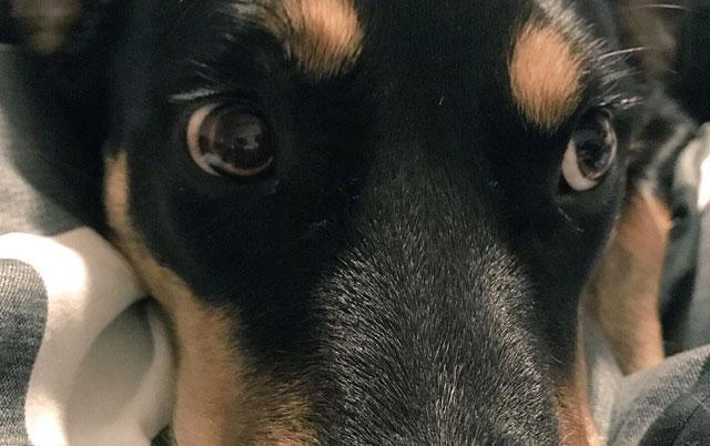 Pas Salivan se PRAVI BOLESTAN kako bi vlasnik ostao kod kuće