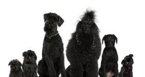 Crni psi petface