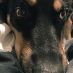 PAMETNI FOLIRANT: Pas se pretvarao da je bolestan da vlasnici ne bi išli na posao!
