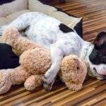 Pet najvećih lenčuga u psećem svetu!