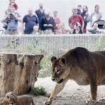 """Tviter gori: Zoološki vrt izjavio: """"Ako su vam dosadili kućni ljubimci, dajte ih našim lavovima""""!"""