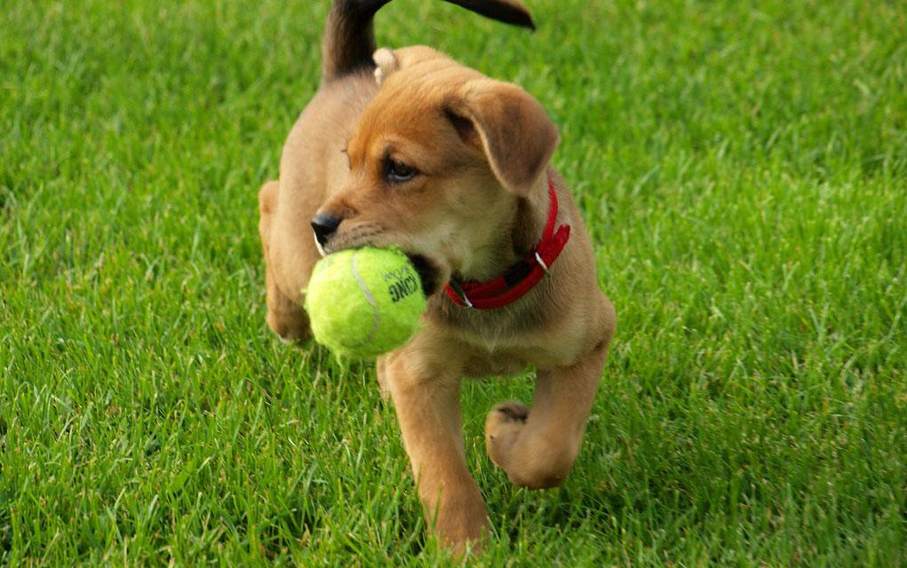 Kako da naučite psa da vam vraća loptu?
