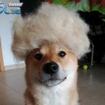 Vlasnik napravio perike od dlake svog ljubimca
