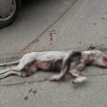 POTRESNE FOTOGRAFIJE IZ OBRENOVCA: Pas pretrpeo užasnu torturu, pa izbačen iz kola na ulicu!
