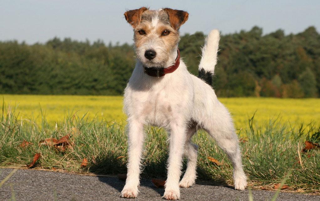 Najpoznatije oštrodlake rase pasa i njihova nega