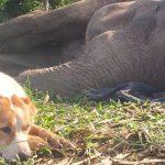 Kujica Pankejk je odbila da napusti slona, koji je umirao, do poslednjeg trenutka!