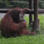 """Orangutan u zoo vrtu pušio cigaretu, javnost poludela, a nadležni rekli da """"im je žao""""!"""