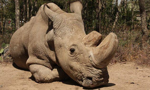 beli nosorog petface