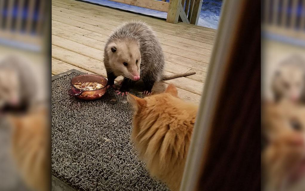 Mačka u neverici jer joj OPOSUM krade hranu