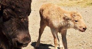 bizon petface