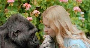 gorila Koko petface