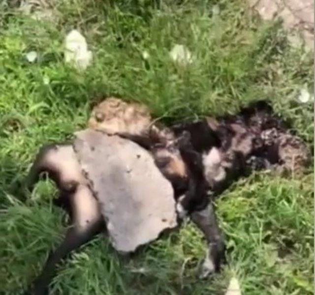 ubijen pas petface