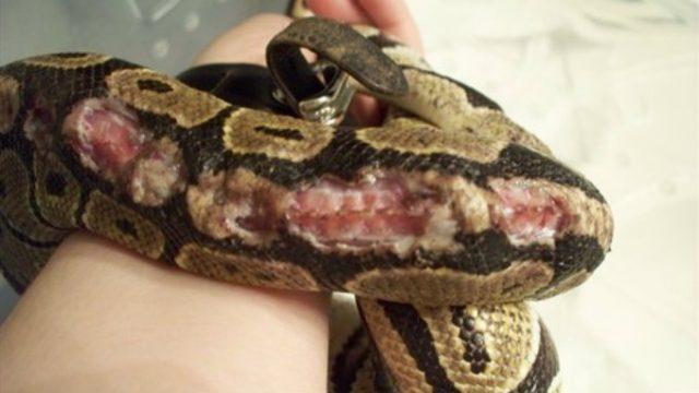 povrede kod zmije petface