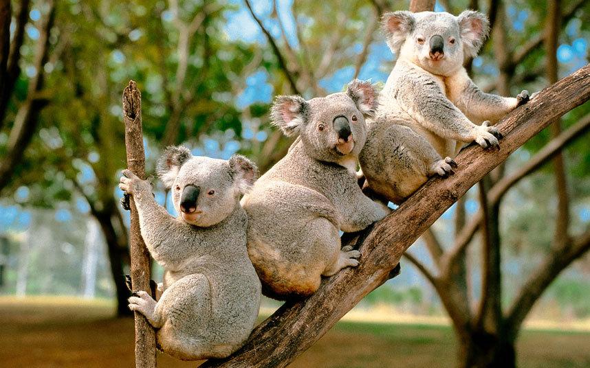 koale petface