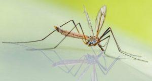 nema nijednog komarca petface