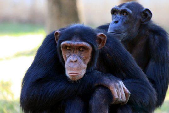 politicari vs simpanze petface