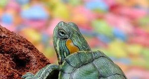 kornjaca na jelovniku petface