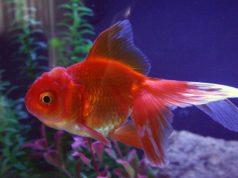 ostavljene ribice petface