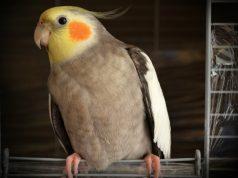 papagaj nevoljan petface