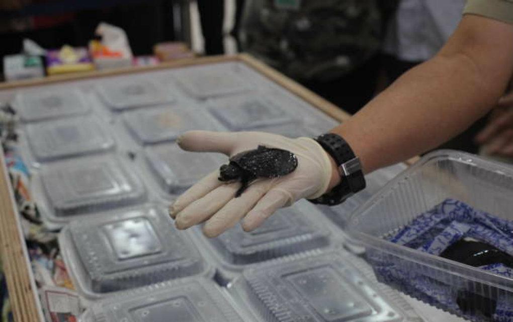 kornjaca vraceno petface