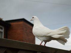 drzati golubove petface