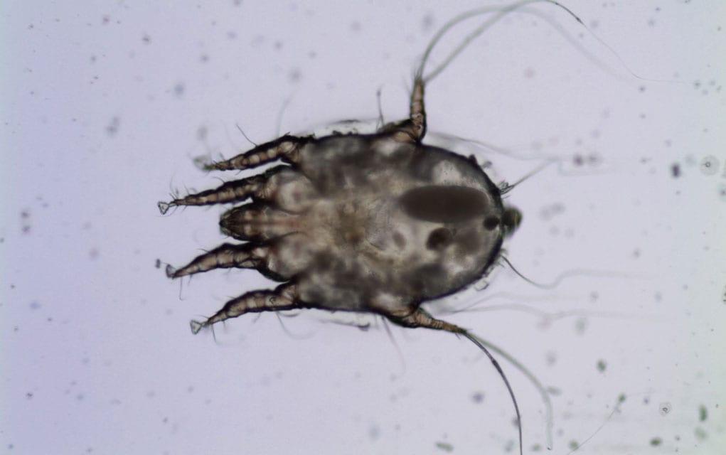 Paraziti u uhu kod pasa, Anthelmintic enema definition