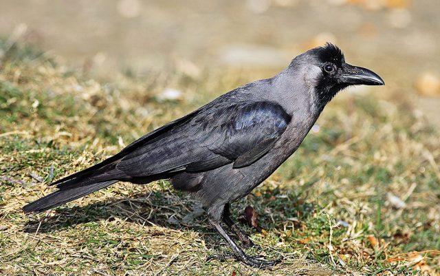gavran ili vrana petface