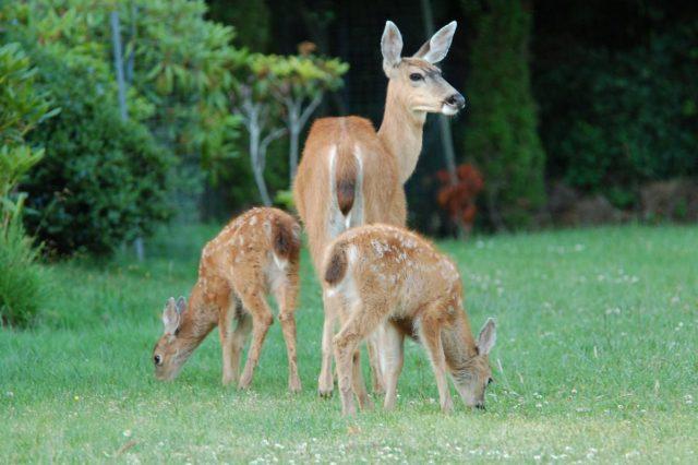 gleda u Bambija petface