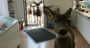 porodica jelena petface