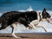 psi za trcanje petface
