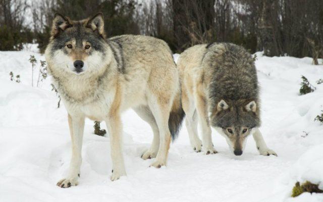 ubijanju vukova petface