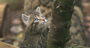 škotska divlja mačka petface