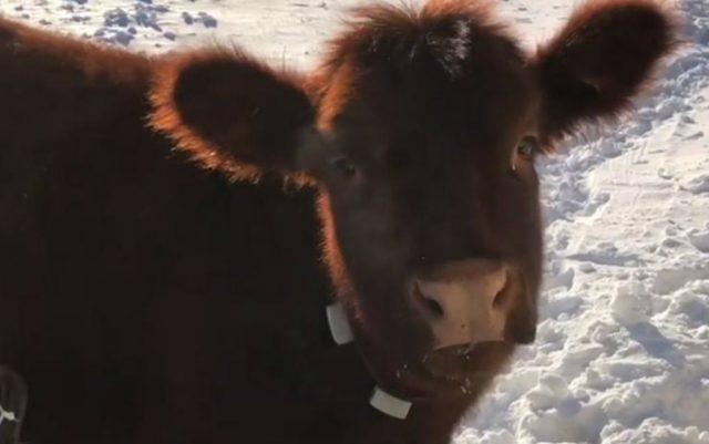 krava ponasa petface