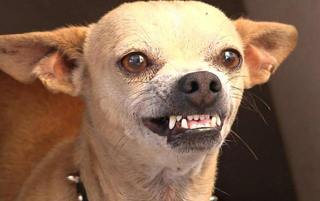 da li se psi smeju petface