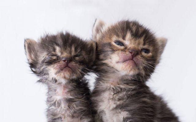 ocne infekcije kod macica petface