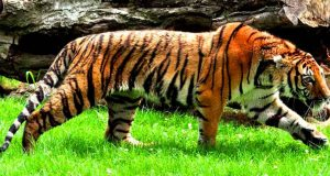sibirski tigar petface