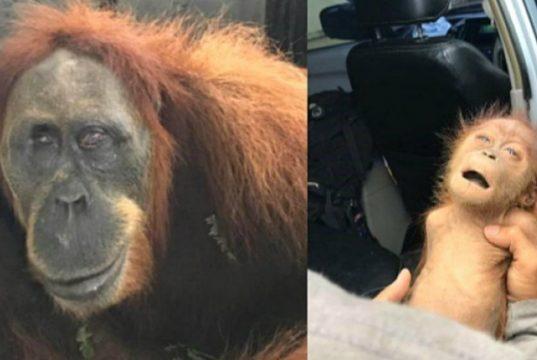 slepa zenka orangutana petface