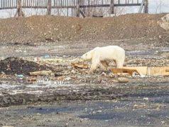 izgladneli polarni medved petface