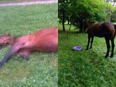 konj iz krusevca je dobro petface